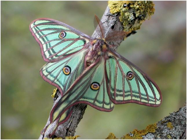Mariposa isabelina (Actias isabelae)